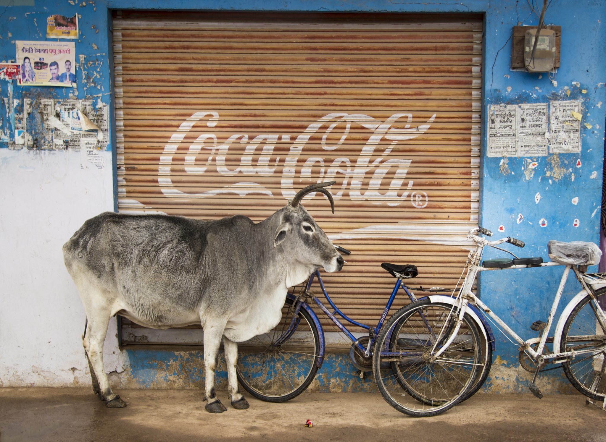 Cow and coke, india